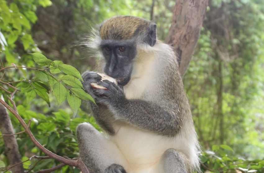 Ministry Considering Options To Address Monkey Issues