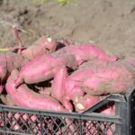 Efforts On To Ensure Growth Of Sweet Potato
