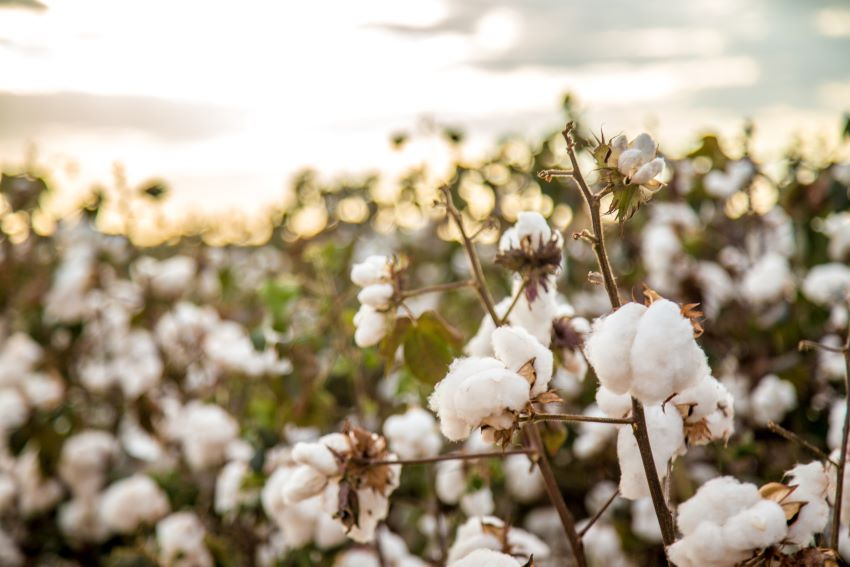 Barbadians Needed To Harvest Cotton