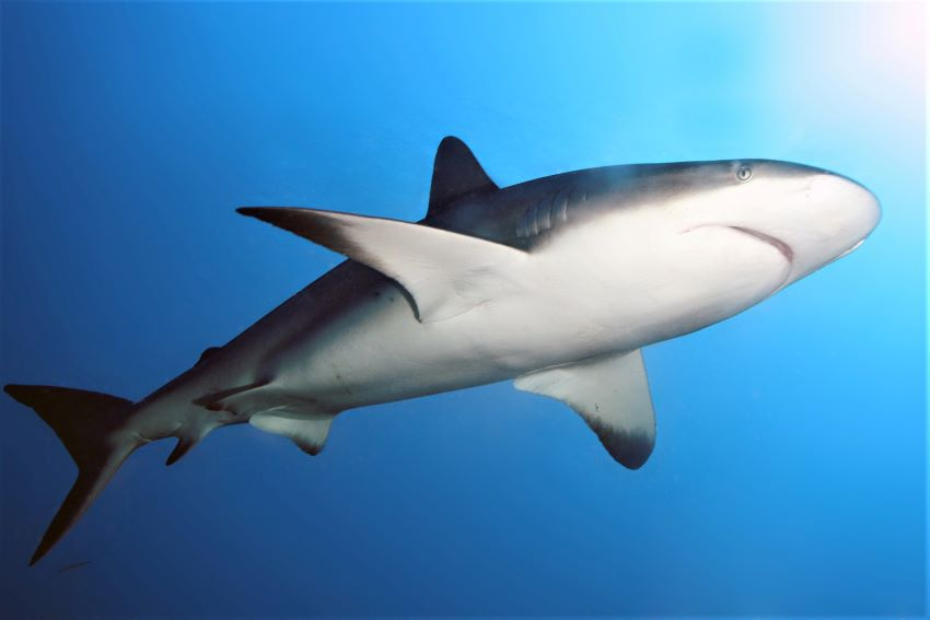 Warning About Shark Sightings In Caribbean