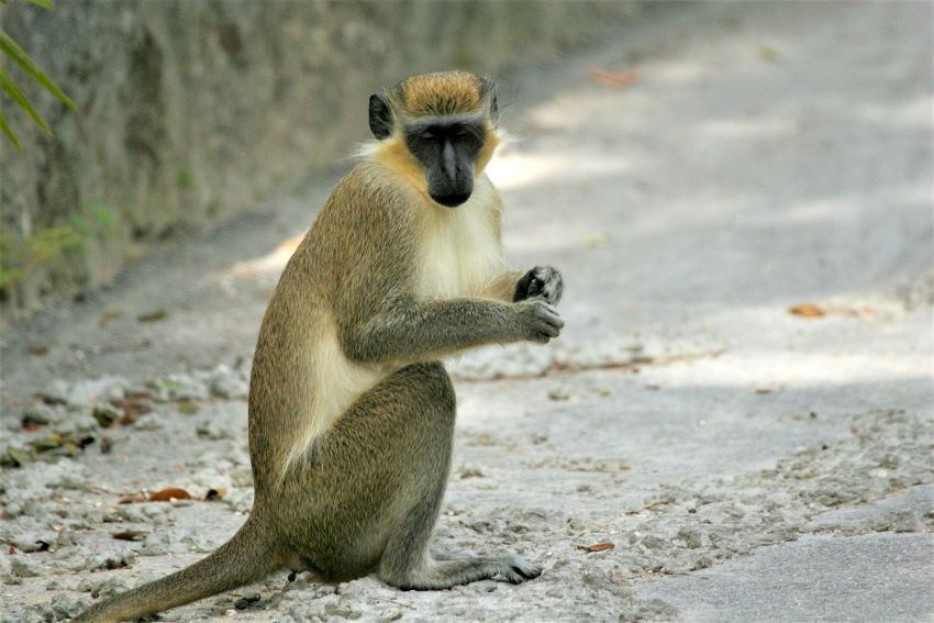 Three Reasons For Explosion Of Monkey Population
