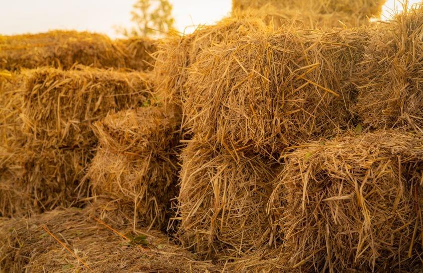 Efforts On To Source Fodder For Island's Livestock